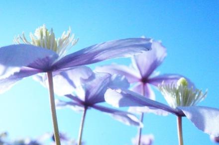 Roze clematis tegen een blauwe hemel